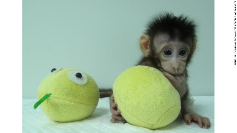 Monkey see, monkey 2: Scientists clone monkeys using technique that created Dolly the sheep