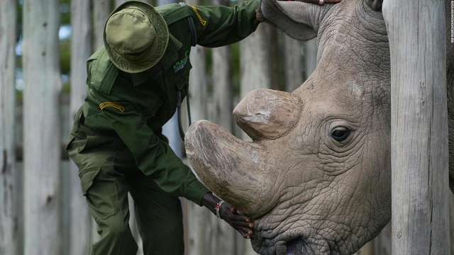 Worlds last male northern white rhino dies