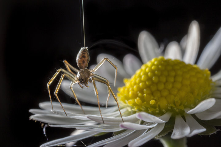 Spiders Use Electricity To Fly For Miles Without Wings
