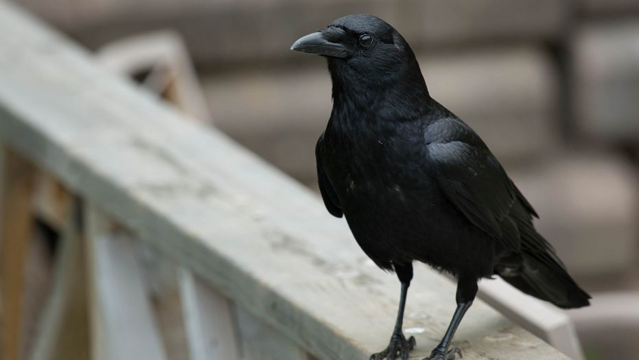 French theme park training crows to clean up trash, cigarette butts