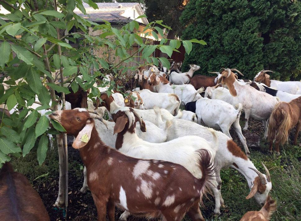 More than 100 goats invade Boise neighbourhood, chew on everything they could find