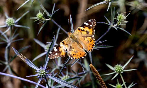 Britons urged to help record influx of painted lady butterflies