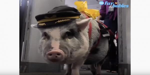 A therapy pig is making life better for travelers in San Francisco