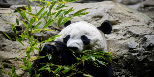 Bye bye Bei Bei: Washington bids farewell to last panda cub