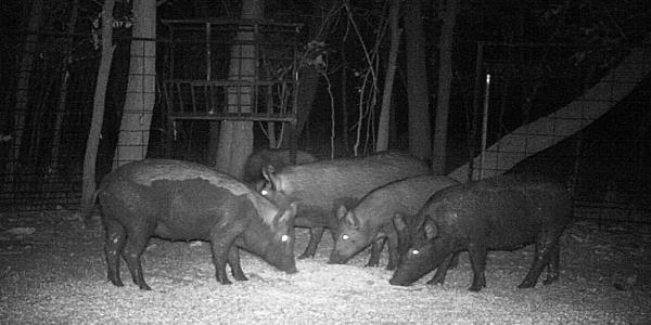 Feral Hogs Killed a Texas Woman. Experts Say They Are Coming for America