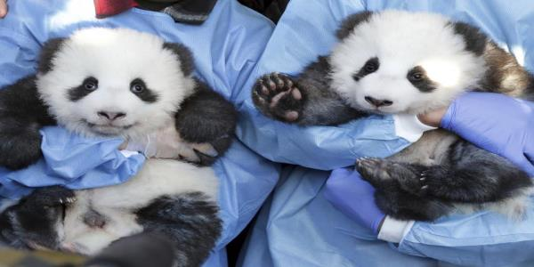Berlin Zoo reveals names of adorable panda twin cubs