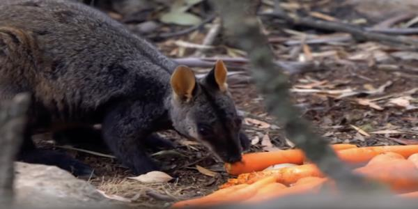 Operation Rock Wallaby is delivering vegetables to hungry animals affected by the Australian bushfires