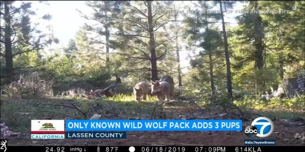 4 last wolves in Washington pack killed by state hunters
