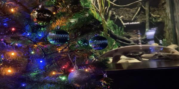 An electric eel named Miguel Wattson is lighting up his aquariums Christmas tree