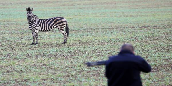 Zebra Shot And Killed After Escaping Circus And Causing Motorway Chaos In Germany