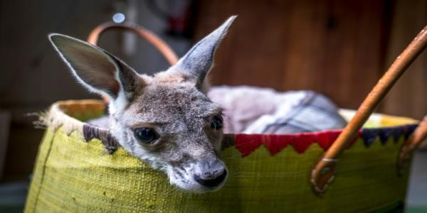 French sewing fans to the rescue of Australias kangaroos