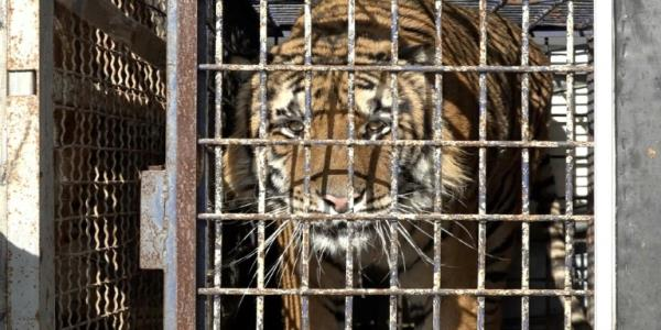 Poland charges two with animal abuse over nightmare tiger trip