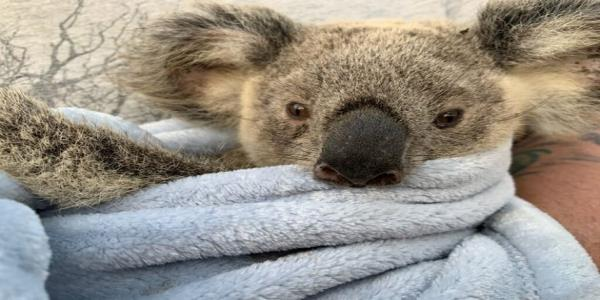 From Heartbreak Comes Hope: Koala Rescuers Share Moving Recovery Stories