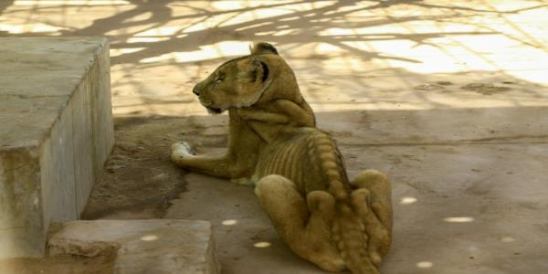 Online campaign to save malnourished lions at Sudan park
