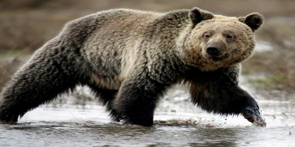 Three hunters mauled in grizzly bear attacks at Yellowstone: He was in their face before they even had chance to grab a gun