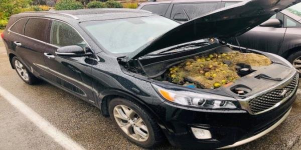 Squirrels stash of winter walnuts causes car chaos